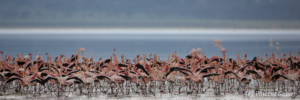 Flamingoes (Phoenicopterus minor) on shore of Lake Nakuru National Park, Kenya, 4