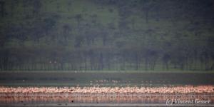 Flamingoes (Phoenicopterus minor) in front of forest, Lake Nakuru National Park, Kenya