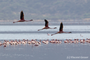 Three flying flamingoes (Phoenicopterus minor), Lake Bogoria National Reserve, Kenya
