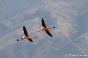 Two flying flamingoes (Phoenicopterus minor), Lake Bogoria National Reserve, Kenya