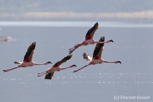 Four flying flamingoes  (Phoenicopterus minor), Lake Bogoria National Reserve, Kenya