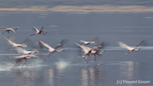 Flamingoes (Phoenicopterus minor) in motion on Lake Bogoria National Reserve, Kenya, 1