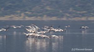 Flamingoes (Phoenicopterus minor) in motion on Lake Bogoria National Reserve, Kenya, 2