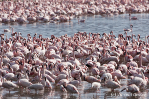 Group of standing flamingoes (Phoenicopterus minor), Lake Bogoria National Reserve, Kenya