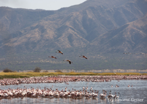 Flamingo (Phoenicopterus minor) landscape, Lake Bogoria National Reserve, Kenya, 2