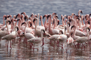 Flamingoes group (Phoenicopterus minor), Lake Bogoria National Reserve, Kenya