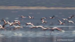 Flamingoes (Phoenicopterus minor) in motion on Lake Bogoria National Reserve, Kenya, 3