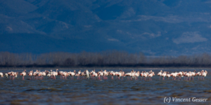 Flamingoes (Phoenicopterus minor) sanding in the water, Lake Kerkini National Park, Greece