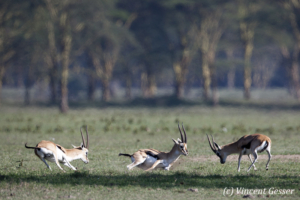 Thomson's gazelles (Eudorcas thomsonii) chasing each other in Lake Nakuru National Park, Kenya