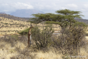 Gerenuk (Litocranius waller) standing to reach high leaves in Buffalo Springs National Reserve landscape, Kenya