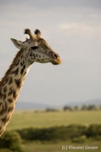 Maasai Giraffe (Giraffa camelopardalis tippelskirchi) portrait in Masai Mara National Reserve, Kenya