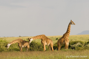 Two Maasai Giraffes (Giraffa camelopardalis tippelskirchi) bending while one stands tall in Masai Mara National Reserve, Kenya