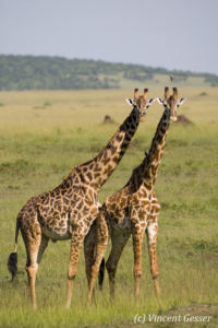 Two Maasai Giraffes (Giraffa camelopardalis tippelskirchi) observing together in Masai Mara National Reserve, Kenya