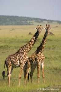 Two Maasai Giraffes (Giraffa camelopardalis tippelskirchi) observing together in Masai Mara National Reserve, Kenya