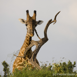 Maasai Giraffe (Giraffa camelopardalis tippelskirchi) portrait behind a dead branch in Masai Mara National Reserve, Kenya