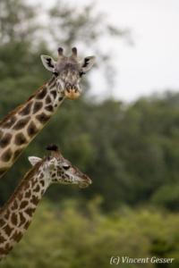 Portrait of two Maasai Giraffes (Giraffa camelopardalis tippelskirchi) in Masai Mara National Reserve, Kenya