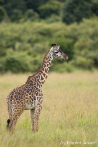 Young Maasai Giraffe (Giraffa camelopardalis tippelskirchi) standing in the grass of Masai Mara National Reserve, Kenya