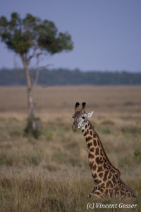 Maasai Giraffe (Giraffa camelopardalis tippelskirchi) sitting in the grass of Masai Mara National Reserve, Kenya