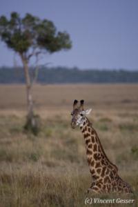 Maasai Giraffe (Giraffa camelopardalis tippelskirchi) sitting in the grass of Masai Mara National Reserve, Kenya
