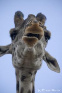 Maasai Giraffe (Giraffa camelopardalis tippelskirchi) portrait from below, Masai Mara National Reserve, Kenya, 1