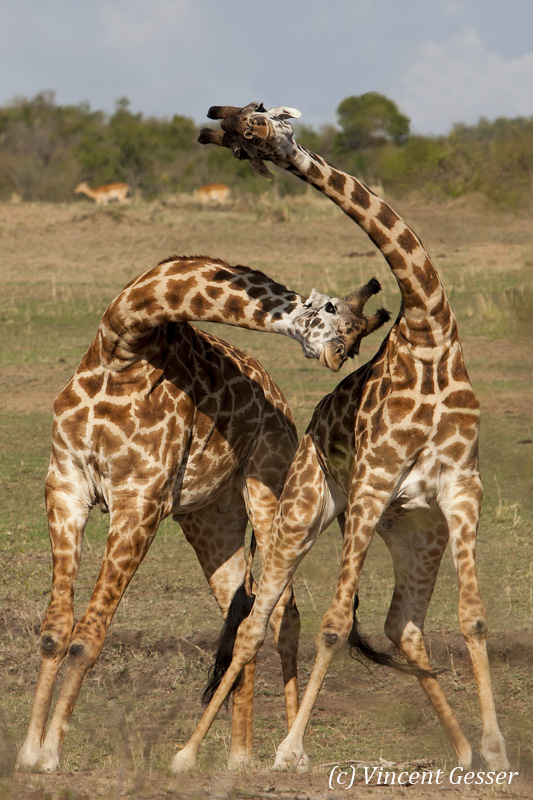 Two Maasai Giraffes (Giraffa camelopardalis tippelskirchi) play fingthing in Masai Mara National Reserve, Kenya