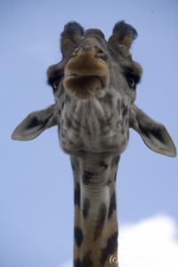Maasai Giraffe (Giraffa camelopardalis tippelskirchi) portrait from below, Masai Mara National Reserve, Kenya, 2