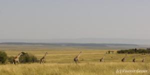 Column of of Maasai Giraffes (Giraffa camelopardalis tippelskirchi) walking in Masai Mara National Reserve, Kenya