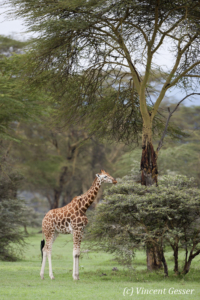 Young Rothchild's Giraffe (Giraffa camelopardalis tippelskirchi) feeding on low bush in Lake Nakuru National Park, Kenya