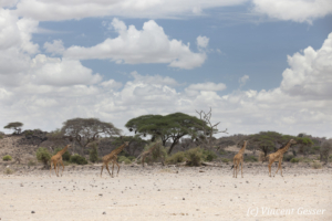 Group of Maasai Giraffes (Giraffa camelopardalis tippelskirchi) walking in Amboseli National Park, Kenya
