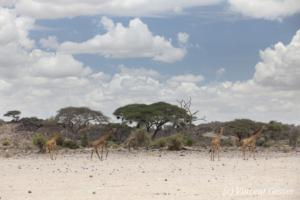 Group of Maasai Giraffes (Giraffa camelopardalis tippelskirchi) walking in Amboseli National Park, Kenya