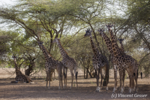 Group of Maasai Giraffes (Giraffa camelopardalis tippelskirchi) under the trees of Shompole Sanctuary, Kenya,1