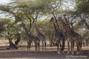 Group of Maasai Giraffes (Giraffa camelopardalis tippelskirchi) under the trees of Shompole Sanctuary, Kenya,1