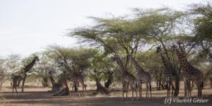 Group of Maasai Giraffes (Giraffa camelopardalis tippelskirchi) under the trees of Shompole Sanctuary, Kenya,2