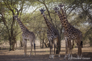 Group of Maasai Giraffes (Giraffa camelopardalis tippelskirchi) under the trees of Shompole Sanctuary, Kenya,3