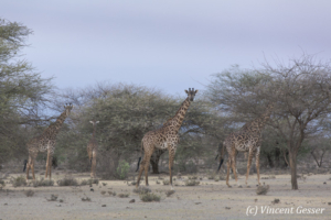 Group of Maasai Giraffes (Giraffa camelopardalis tippelskirchi) at sunset, Shompole Sanctuary, Kenya, 2