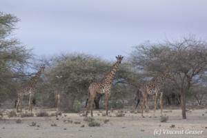 Group of Maasai Giraffes (Giraffa camelopardalis tippelskirchi) at sunset, Shompole Sanctuary, Kenya, 2