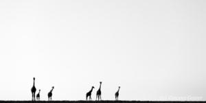 Group of Maasai Giraffes (Giraffa camelopardalis tippelskirchi) silhouettes observing in the plain, Kenya