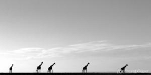 Group of Maasai Giraffes (Giraffa camelopardalis tippelskirchi) silhouettes walking in the plain, Kenya