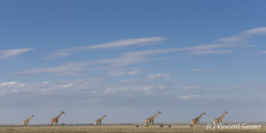 Group of Maasai Giraffes (Giraffa camelopardalis tippelskirchi) walking in the plain, Kenya