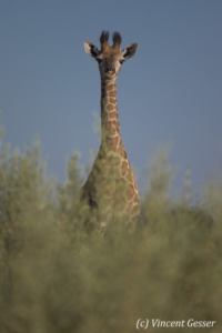One young Reticulated Giraffe (Giraffa camelopardalis reticulata) observing, Moremi National Park, Botswana