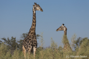 Two Reticulated Giraffes (Giraffa camelopardalis reticulata) observing each other, Moremi National Park, Botswana