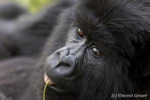 Female Mountain gorilla (Gorilla beringei beringei), Virunga National Park, Rwanda