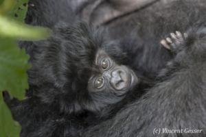 Very young Mountain gorilla (Gorilla beringei beringei) watching, Virunga National Park, Rwanda