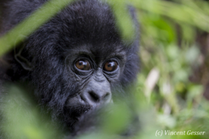 Young Mountain gorilla (Gorilla beringei beringei) eating behind folliage, Virunga National Park, Rwanda