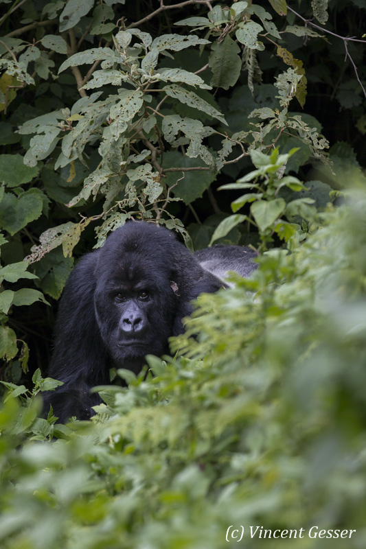 Mountain gorilla (Gorilla beringei beringei) silverback moving out of folliage, Virunga National Park, Rwanda