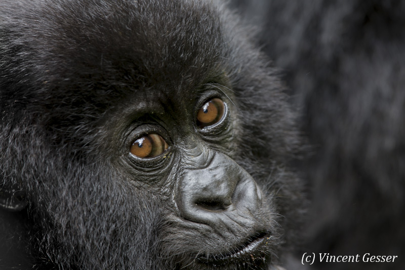 Young Mountain gorilla (Gorilla beringei beringei) portrait, Virunga National Park, Rwanda