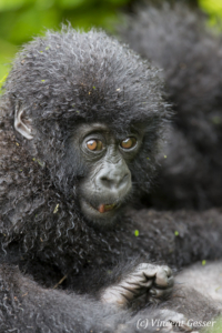 Very young Mountain gorilla (Gorilla beringei beringei) sitting, Virunga National Park, Rwanda