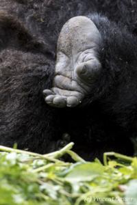 Mountain gorilla (Gorilla beringei beringei) foot details, Virunga National Park, Rwanda
