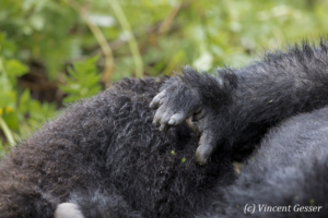 Mountain gorilla (Gorilla beringei beringei) hand damaged by snare and poaching, Virunga National Park, Rwanda