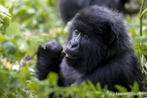 Young Mountain gorilla (Gorilla beringei beringei), Virunga National Park, Rwanda